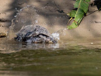lodge ecuador turtle amazon rainforest tour amazonia